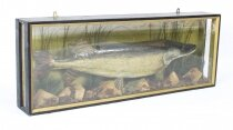 Vintage 23lb Stuffed Pike mounted in a glazed case Taxidermy 20th Century