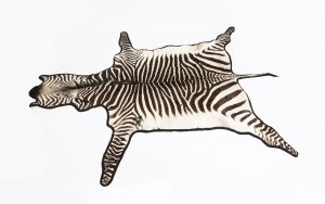 Vintage Large Taxidermy Zebra Skin Rug with Felt Backing c 1970 20th C