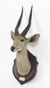 A Kenyan Mounted Taxidermy Bushbuck Hunting Trophy Dated 1910 | Ref. no. 09366 | Regent Antiques