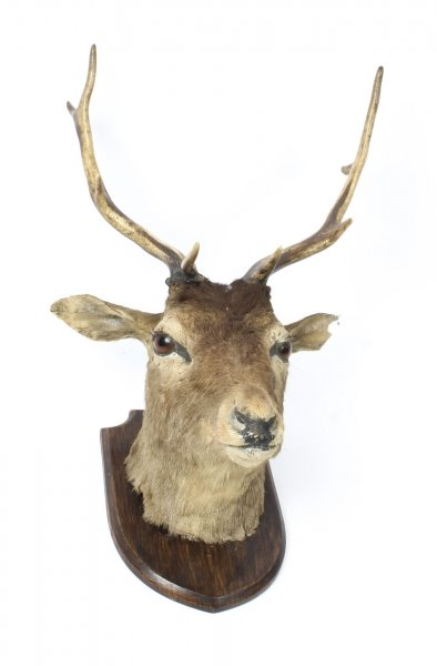 A Scottish Mounted Taxidermy Stag  Mid 20 century | Ref. no. 09426 | Regent Antiques